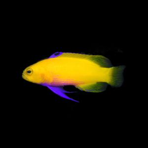 Basslets / Bass