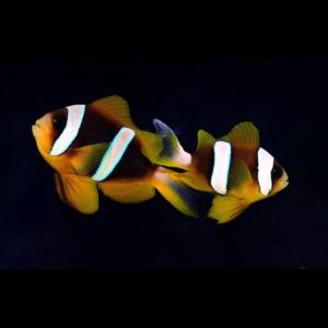 Clownfish / Damselfish