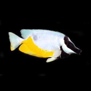 Foxface / Rabbitfish
